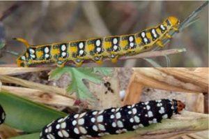 Albufera butterfly larvae