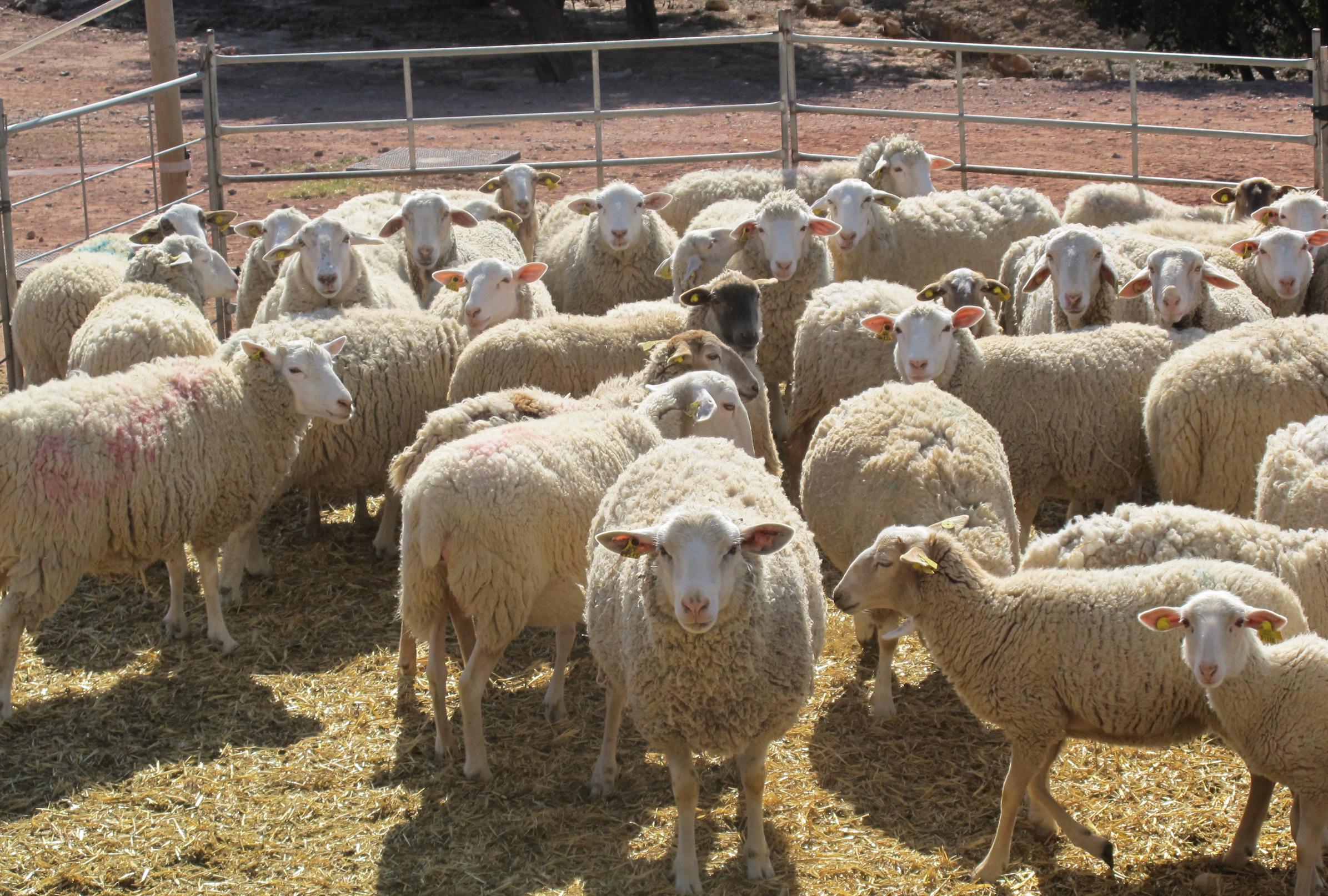 Researchers develop new reproductive protocol for ovine