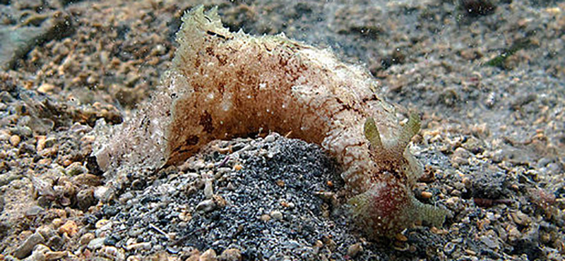 Dolabella auricularia. Fuente: Philippe Bourjon, CC BY-SA 3.0 https://creativecommons.org/licenses/by-sa/3.0, via Wikimedia Commons